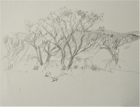 Mulga trees